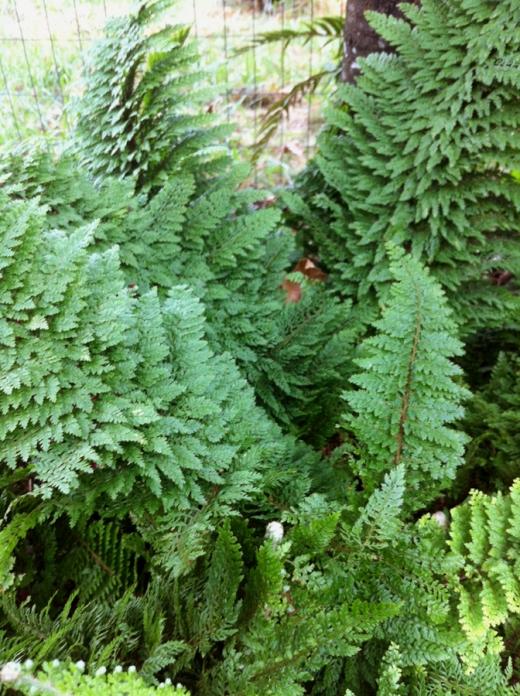 Leif's fern closer