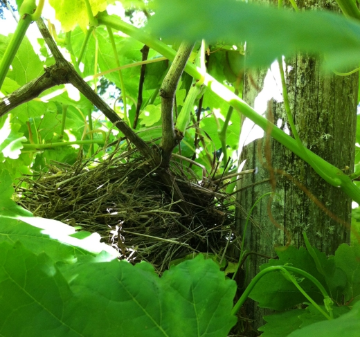 nest in grape arbor