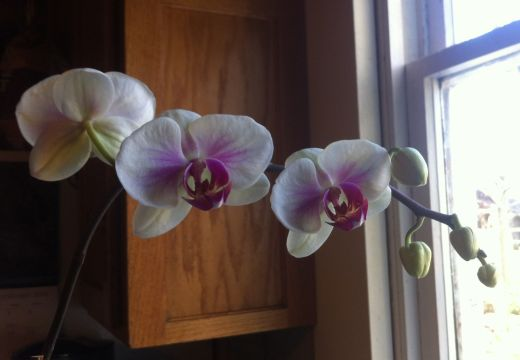 winter orchid blooms