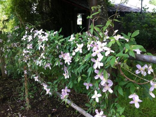 Montana clematis flowering