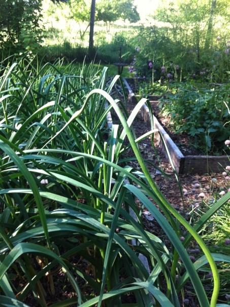 scary garlic scape