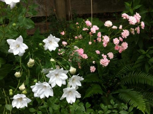 balloon flowers & fairy roses