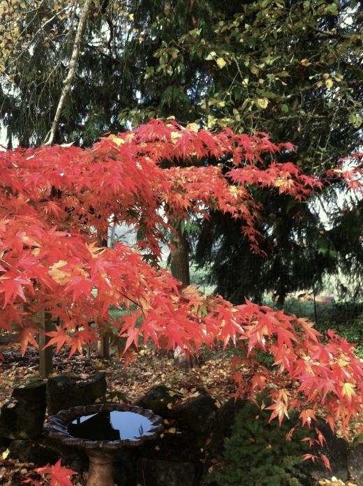 small red maple limb & birdbath copy