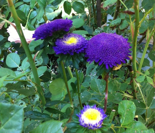 purple Chinese aster