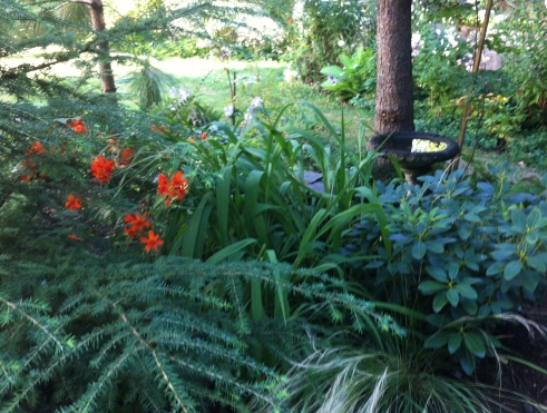 crocosmia bed