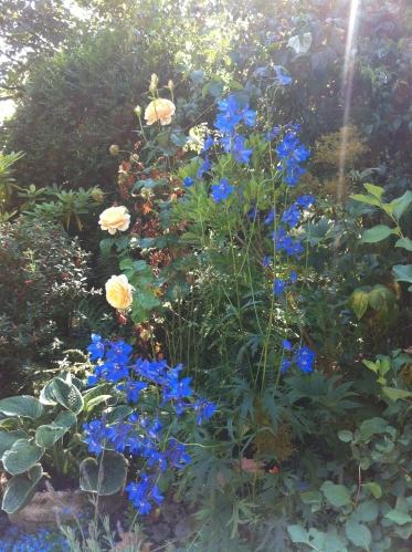 Delphinium belladonna
