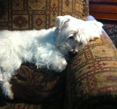 Westie on his pillow