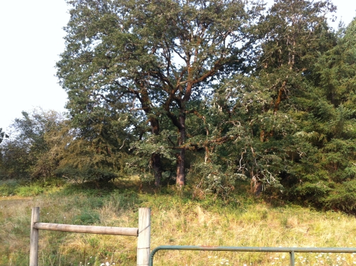 oak in August field