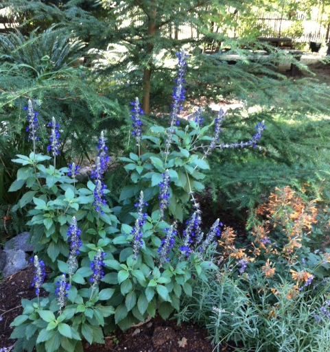salvia and hyssop