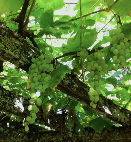 grapes in September