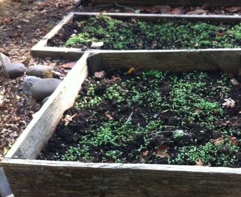 crimson clover sprouts