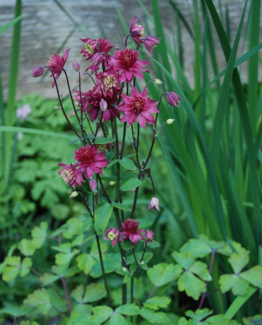 red double flowered columbine