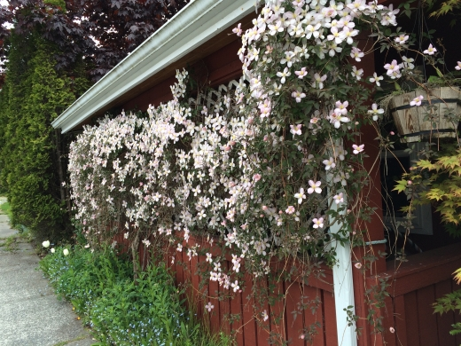 Sitka clematis